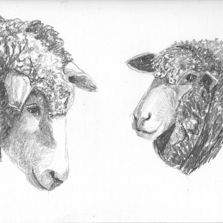 Sheep 16